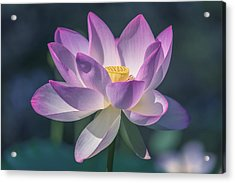Acrylic Print featuring the photograph Lovely Lotus by Cindy Lark Hartman