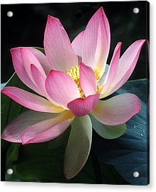 Lovely Lotus Acrylic Print