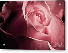 Acrylic Print featuring the photograph Lovely Pink Rose by Micah May