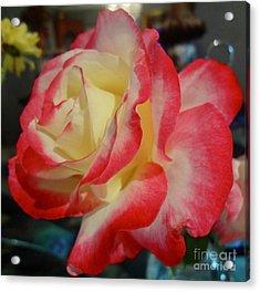 Lovely Rose Acrylic Print