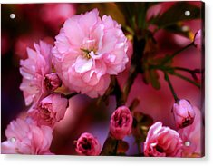 Lovely Spring Pink Cherry Blossoms Acrylic Print