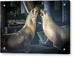Harbor Seals Lovers Quarrel Acrylic Print by James Hammond