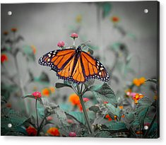 Loving The Lantana  Acrylic Print