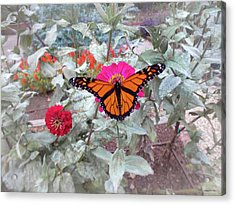 Loving The Zinnias Acrylic Print