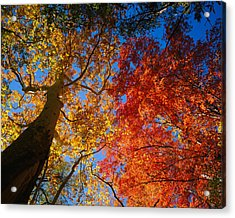 Low Angle View Of A Sycamore Tree Acrylic Print