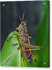 Lubber Grasshopper Acrylic Print by Richard Rizzo