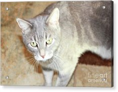 Lucius The Marble Gray Tabby Acrylic Print by Donna Munro