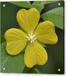 Lucky Four Leaf Flower Acrylic Print