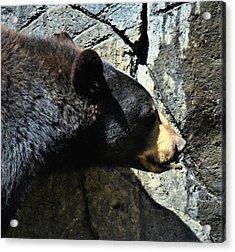 Lumbering Bear Acrylic Print