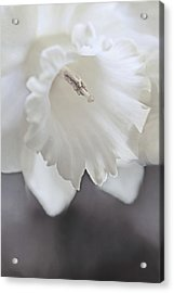 Acrylic Print featuring the photograph Luminous Ivory Daffodil Flower by Jennie Marie Schell