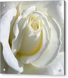 Luminous Ivory Rose Acrylic Print by Jennie Marie Schell