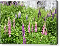 Lupine Cones And Weathered Shakes Acrylic Print