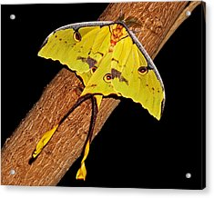 Acrylic Print featuring the photograph Luna Moth by Judy Vincent