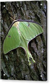Acrylic Print featuring the photograph Luna Moth by Marie Hicks