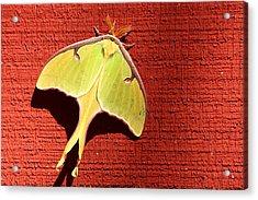 Luna Moth On Red Barn Acrylic Print by Sheila Brown