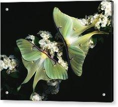 Luna Moths Acrylic Print