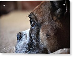 Acrylic Print featuring the photograph Luna The Boxer 02 by John Knapko