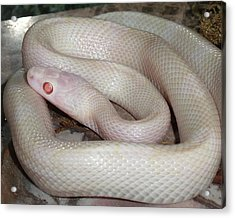 Luna White Snake Acrylic Print by Patricia McNaught Foster