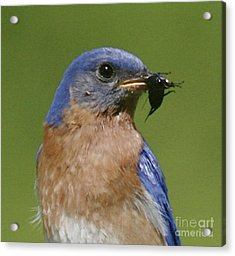 Lunch Time Blues Acrylic Print by Robert Pearson