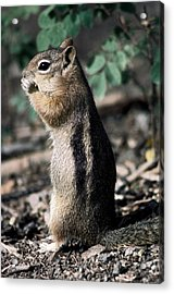 Acrylic Print featuring the photograph Lunchtime For Ground Squirrel by Sally Weigand