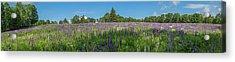 Lupine Field Acrylic Print