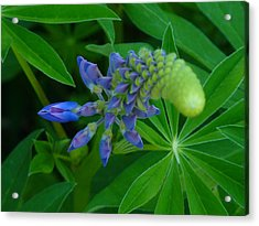 Lupin In Bloom Early Spring Acrylic Print by Jeremy Wolff