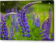 Lupine Curves Acrylic Print by Susan Cole Kelly