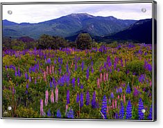 Acrylic Print featuring the photograph Lupine Field In Franconia Range by Wayne King