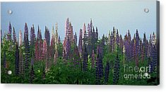 Lupine In Morning Light Acrylic Print by Christopher Mace