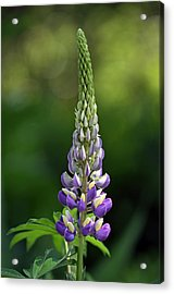Acrylic Print featuring the photograph Lupine by Juergen Roth