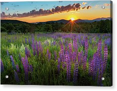 Acrylic Print featuring the photograph Lupine Lumination by Bill Wakeley