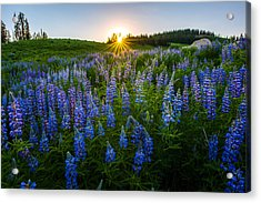 Lupine Meadow Acrylic Print by Dustin  LeFevre