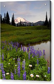 Aster Acrylic Print featuring the photograph Lupine Sunrise by Mike  Dawson