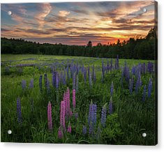 Lupine Sunset Acrylic Print by Bill Wakeley
