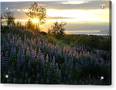 Lupine Sunset Acrylic Print by Marilynne Bull