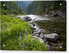 Lupines At Dawn Acrylic Print