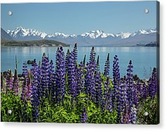 Lupines At Lake Tekapo Acrylic Print