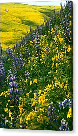 Lupins And Daisys Acrylic Print
