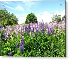 Lupins And Flocks Acrylic Print by Melissa Parks