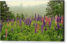 Lupins In The Mist Acrylic Print