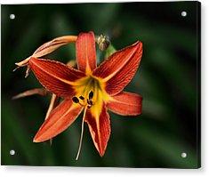 Luscious Tiger Lily Acrylic Print
