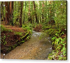 Lush Redwood Forest Acrylic Print by Matt Tilghman