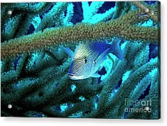 Lutjan Seaperch Hiding In Soft Coral Acrylic Print by Sami Sarkis
