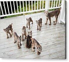 Lynx Family Portrait 11x14 Acrylic Print