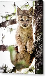 Lynx Kitten In Tree Acrylic Print