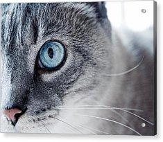 Lynx Point Kitty Acrylic Print