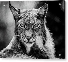 Lynx Portet Acrylic Print