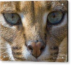 Lynx  Acrylic Print by White Stork Gallery