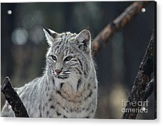 Lynx With A Very Unhappy Face Acrylic Print