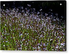 Acrylic Print featuring the photograph Lyre Leaf Sage by Barbara Bowen